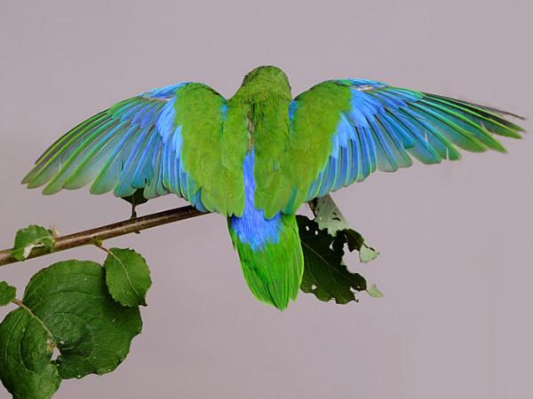 Bauwvleugel | Vleugel bovenzijde
