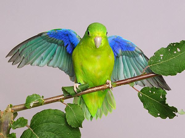 Bauwvleugel | Vleugel onderzijde