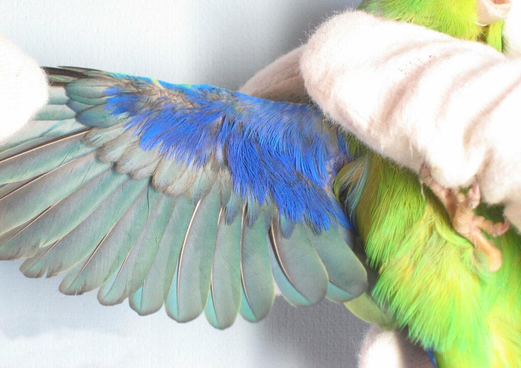 Insularis | Vleugel onderzijde